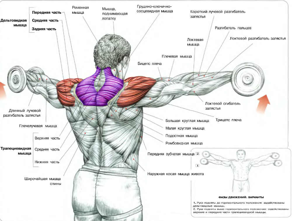 dumbbell-lateral-side-raisesbodybuilding